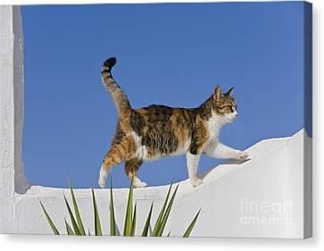 Cat On A Wall, Greece Canvas Print by Jean-Louis Klein & Marie-Luce Hubert