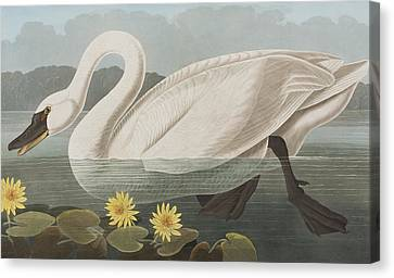 Common American Swan Canvas Print by John James Audubon