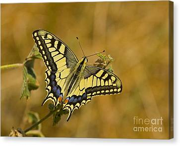 Common Swallowtail Canvas Print by Steen Drozd Lund