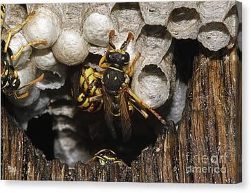 Common Wasp Vespula Vulgaris Canvas Print by Gerard Lacz