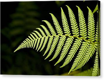 Detail Of Asian Rain Forest Ferns Canvas Print by Tim Laman