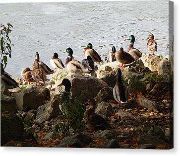 Ducks Canvas Print by Jimmy Bullion