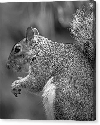 Eastern Grey Squirrel  Canvas Print by Martin Newman