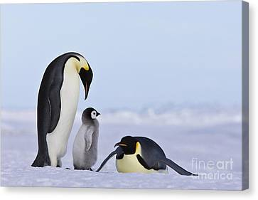 Emperor Penguins And Chick Canvas Print by Jean-Louis Klein & Marie-Luce Hubert