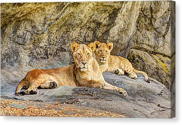 Female Lion And Cub Canvas Print by Marv Vandehey