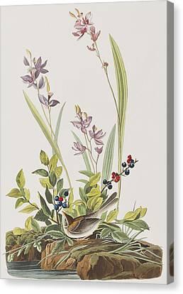 Field Sparrow Canvas Print by John James Audubon