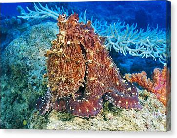 Fiji, Day Octopus Canvas Print by Dave Fleetham - Printscapes