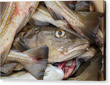 Fresh Cod, Iceland Canvas Print by Panoramic Images