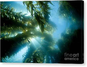 Giant Kelp Forest Canvas Print by Dave Fleetham - Printscapes