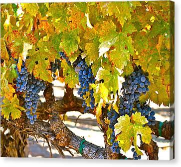 Grapes Canvas Print by Dorota Nowak