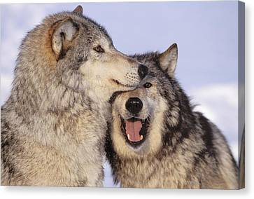 Gray Wolves Canvas Print by John Hyde - Printscapes