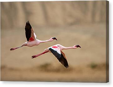 Greater Flamingos Phoenicopterus Roseus Canvas Print by Panoramic Images