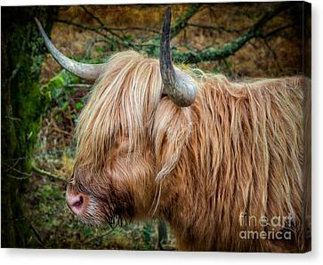 Highland Cow Canvas Print by Adrian Evans