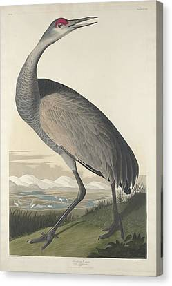 Hooping Crane Canvas Print by John James Audubon