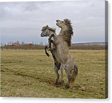 Horsing Around Canvas Print by Tony Beck