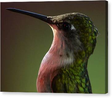 Hummingbird Canvas Print by Brian Stevens