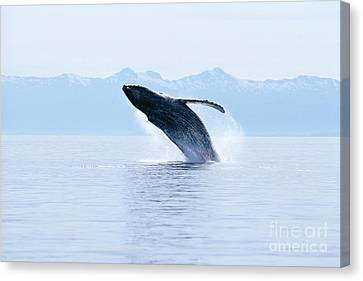 Humpback Whale Breaching Canvas Print by John Hyde - Printscapes