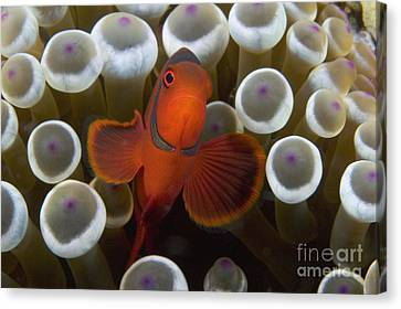 Indonesia, Marine Life Canvas Print by Dave Fleetham - Printscapes
