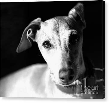 Italian Greyhound Portrait In Black And White Canvas Print by Angela Rath