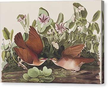 Key West Dove Canvas Print by John James Audubon