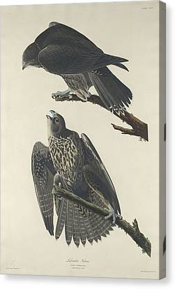 Labrador Falcon Canvas Print by John James Audubon
