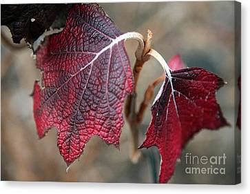 Leaves Canvas Print by Amanda Barcon