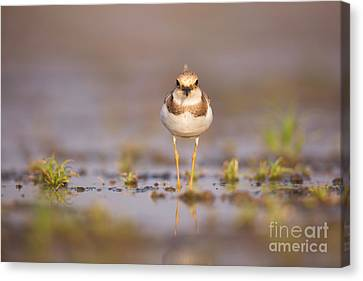Little Ringed Plover Charadrius Dubius Canvas Print by Alon Meir