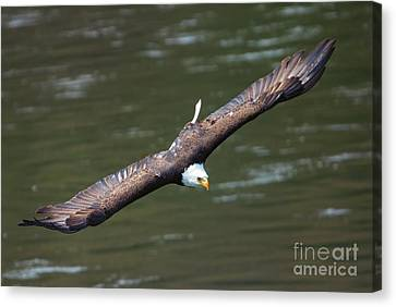Looking For A Meal Canvas Print by Mike Dawson