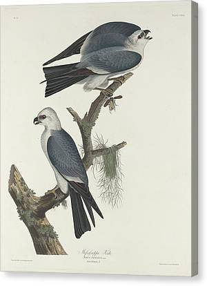 Mississippi Kite Canvas Print by John James Audubon