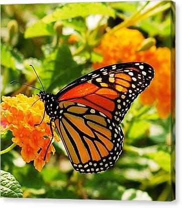 Monarch Canvas Print by Michael Peychich