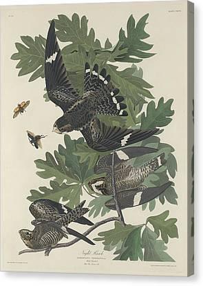 Night Hawk Canvas Print by John James Audubon