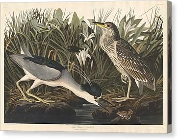 Night Heron Or Qua Bird Canvas Print by John James Audubon