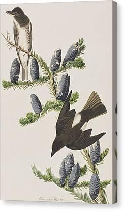 Olive Sided Flycatcher Canvas Print by John James Audubon
