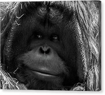 Orangutan Canvas Print by Martin Newman