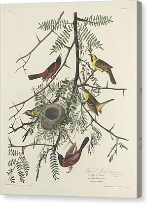 Orchard Oriole Canvas Print by John James Audubon