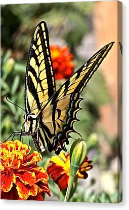 Oregon Swallowtail Butterfly  Canvas Print by Brent Sisson