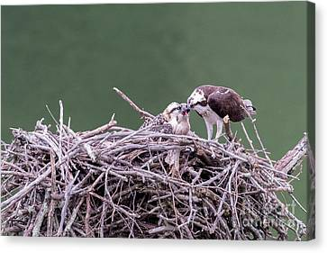 Osprey Mom Feeding Fish To The Young Osprey Canvas Print by Dan Friend