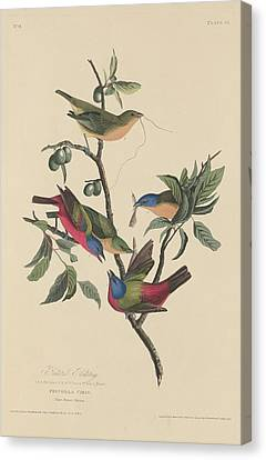Painted Bunting Canvas Print by John James Audubon