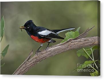 Painted Redstart Canvas Print by Anthony Mercieca
