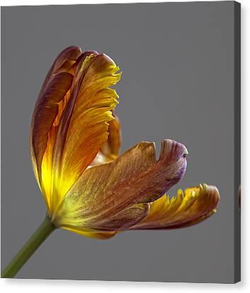 Parrot Tulip 21 Canvas Print by Robert Ullmann