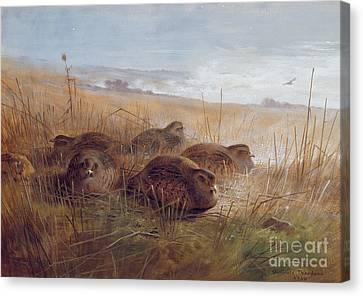 Partridges Canvas Print by Archibald Thorburn