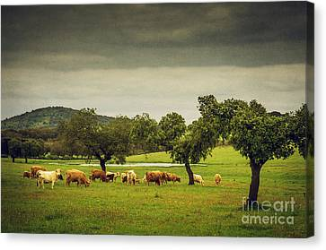 Pasturing Cows Canvas Print by Carlos Caetano