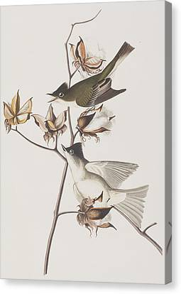 Pewit Flycatcher Canvas Print by John James Audubon