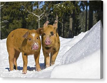 Piglets In The Snow Canvas Print by Jean-Louis Klein & Marie-Luce Hubert