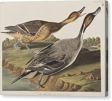 Pin-tailed Duck Canvas Print by John James Audubon