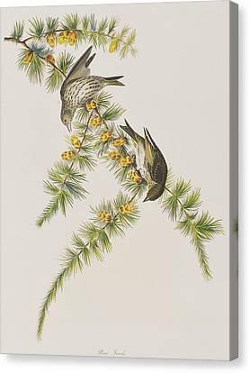 Pine Finch Canvas Print by John James Audubon