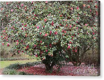 Pink Camellia Tree Canvas Print by Carol Groenen