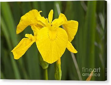 Plant Wild Flower Yellow Flag  Iris Pseudacorus Canvas Print by Hugh McKean