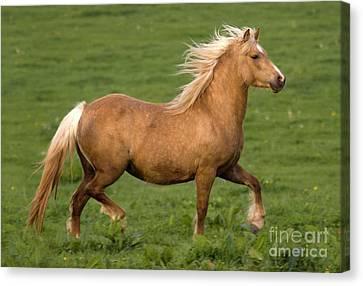 Prancing Pony Canvas Print by Angel  Tarantella