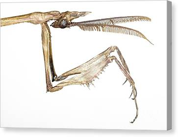 Praying Mantis Head And Forelegs Canvas Print by Lawrence Lawry